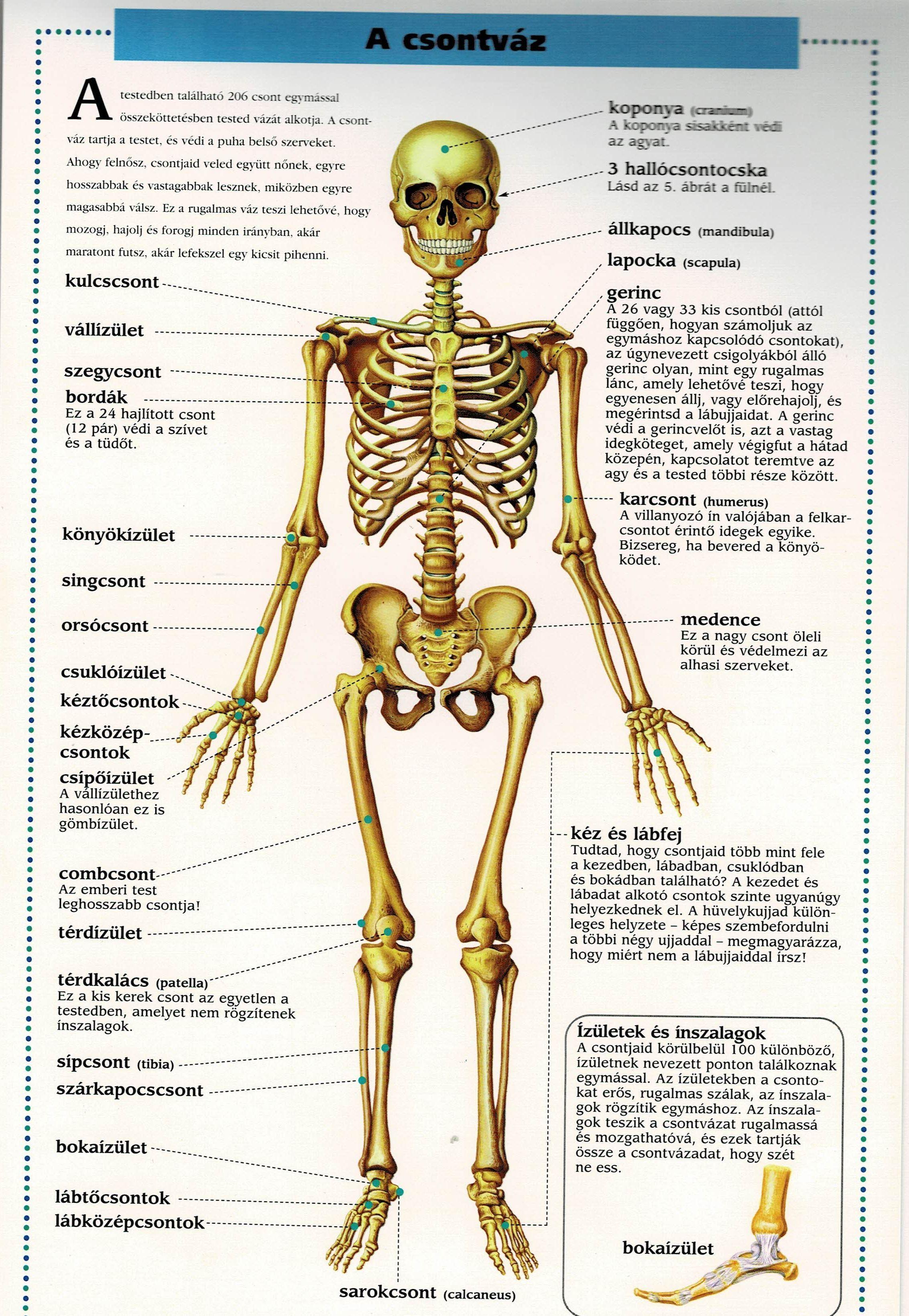 a térdízület csontok
