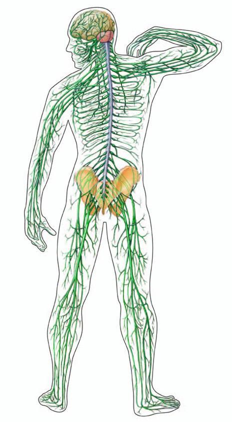 boka ideg károsodása az ízület fájdalmasan fáj