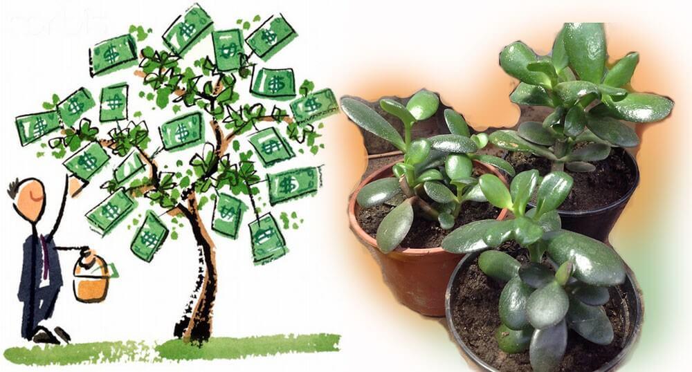 pénz fa ízületi fájdalom